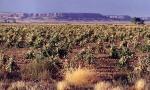 Dry field of corn at the Hopi Mesas, Arizona