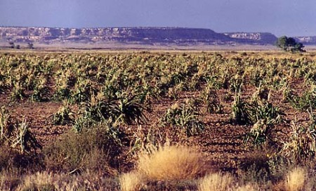 Dry field of corn at the Hopi Mesas, Arizona