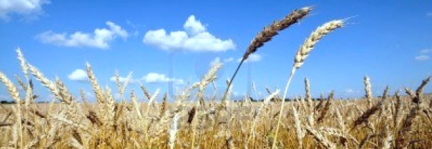 wheat-for-harvest