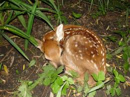 Fawn - photo by Elfer courtesy of Creative Commons.